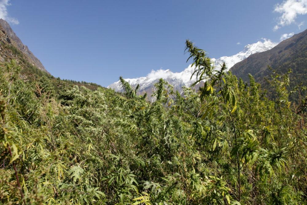 Nepal, Manaslu, Tsum Valley, Trekking, Wandern, Himalaya, Cannabis