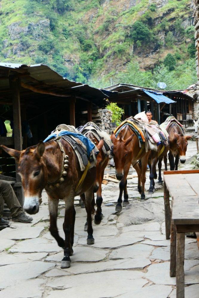 Nepal, Manaslu, Tsum Valley, Trekking, Wandern, Himalaya, Mulis, Maultiere, Karawane