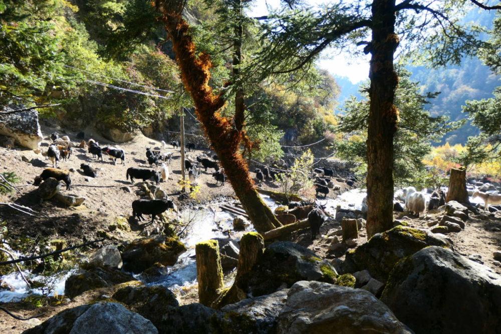 Nepal, Manaslu, Tsum Valley, Trekking, Wandern, Himalaya, Yack